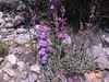 Owens Valley beardtongue - Penstemon confusus (PECO7)