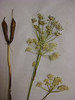 Common yampah - Perideridia gairdneri ssp. borealis (PEGAB)