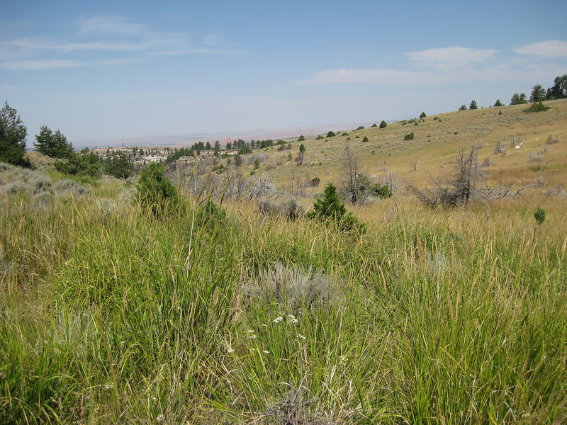 Basin wildrye - Leymus cinereus (LECI4)