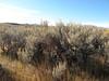 Basin big sagebrush - Artemisia tridentata ssp. tridentata (ARTRT)