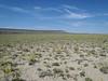 desert princesplume - Stanleya pinnata (STPI)