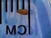 spiny phlox - Phlox hoodii  (PHHO)