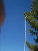 Limber pine - Pinus flexilis (PIFL2)