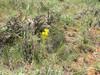 Tapertip hawksbeard - Crepis acuminata (CRAC2)