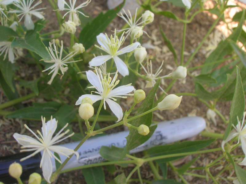 Western white clematis - Clematis ligusticifolia (CLLI2)