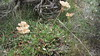 sulphur-flower buckwheat - Eriogonum umbellatum var. majus (ERUMM)