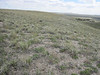 Stemless mock goldenweed - Stenotus acaulis (STAC)