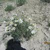 Smooth woodyaster - Xylorhiza glabriuscula (XYGL)