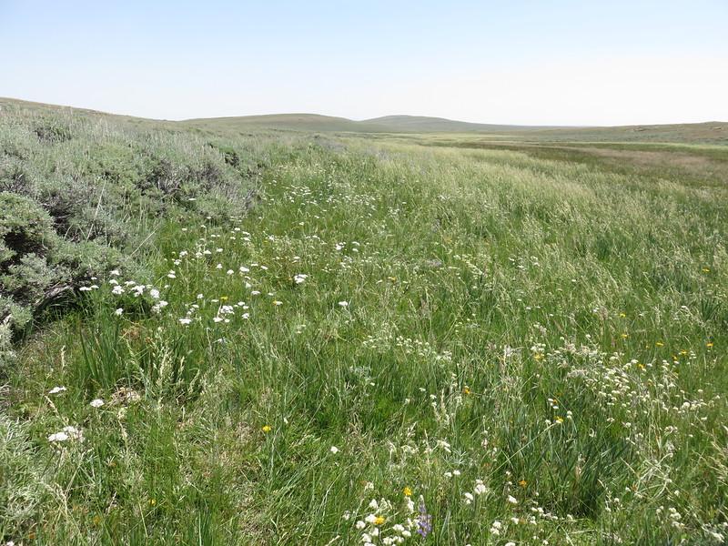 western yarrow - Achillea millefolium var. occidentalis (ACMIL3)