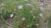 tanseyleaf tansyaster - Machaeranthera tanacetifolia (MATA2)