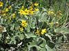 Arrowleaf balsamroot - Balsamorhiza sagittata (BASA3)