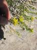 Yellow rabbitbrush - Chrysothamnus viscidiflorus ssp. viscidiflorus (CHVIV2)