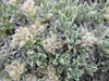 Tufted cryptantha - Cryptantha caespitosa (CRCA7)