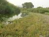 Water speedwell - Veronica anagallis-aquatica (VEAN2)