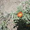 Scarlet globemallow - Sphaeralcea coccinea (SPCO)