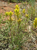 Yellow Indian paintbrush - Castilleja flava (CAFL7)