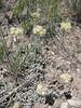 Umber pussytoes - Antennaria umbrinella (ANUM)