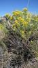 yellow rabbitbrush - Chrysothamnus viscidiflorus (CHVI8)