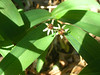 Starry false lily of the valley - Maianthemum stellatum (MAST4)