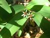 Starry false lily of the valley - Maianthemum stellatum (MAST4)
