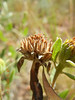 Little sunflower - Helianthus pumilus (HEPU3)