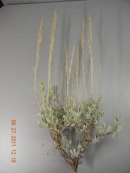 Mountain big sagebrush - Artemisia tridentata ssp. vaseyana (ARTRV)