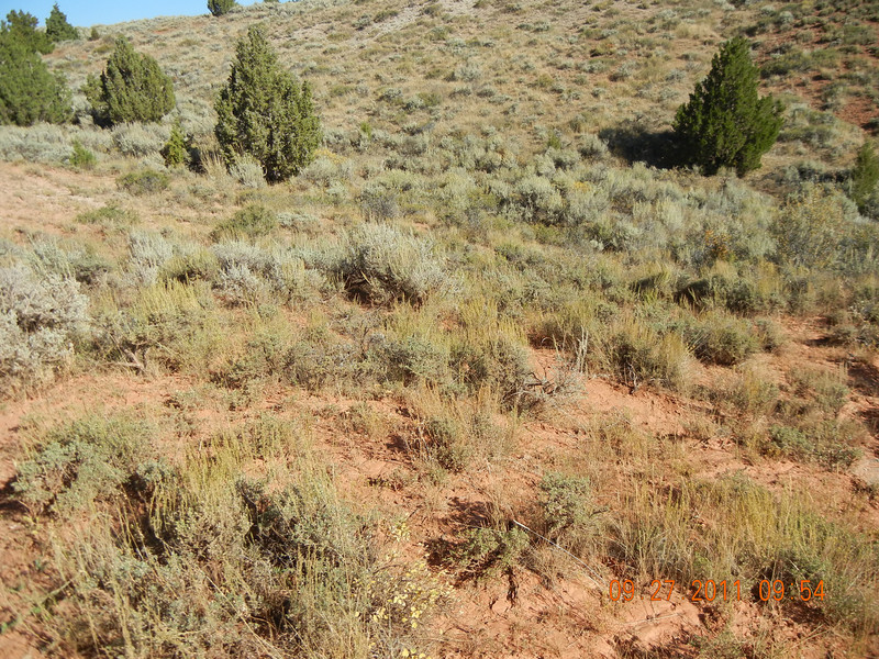 Black sagebrush - Artemisia nova (ARNO4)