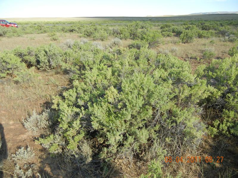 Greasewood - Sarcobatus vermiculatus (SAVE4)
