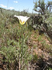 Sego lily - Calochortus nuttallii (CANU3)