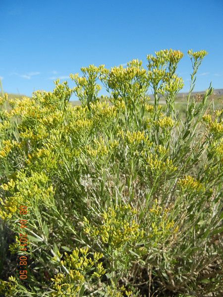 Yellow rabbitbrush - Chrysothamnus viscidiflorus (CHVI8)