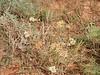 Western yarrow - Achillea millefolium var. occidentalis (ACMIO)