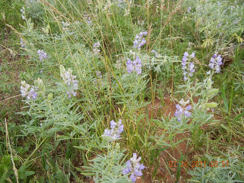 Silvery lupine - Lupinus argenteus (LUAR3)