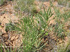 Narrowleaf milkvetch - Astragalus pectinatus (ASPE5)
