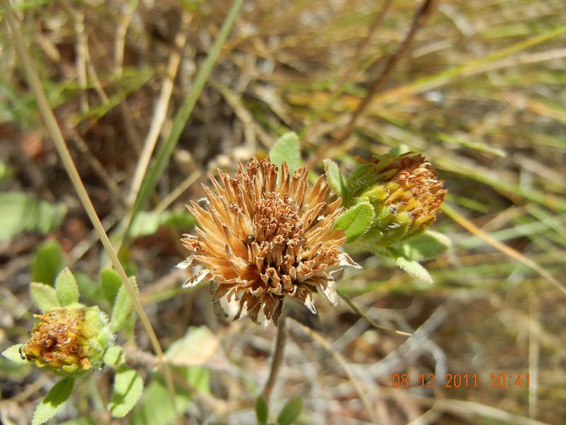 Little sunflower - Helianthus pumilus (HEPU3)