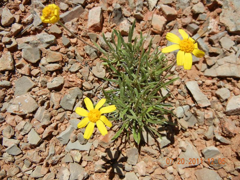 Stemless four-nerve daisy - Tetraneuris acaulis var. acaulis (TEACA2)