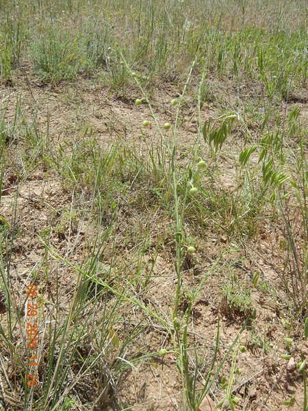 Lewis flax - Linum lewisii (LILE3)