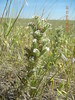 buttecandle - Cryptantha celosioides (CRCE)