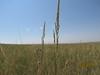 Prairie sandreed - Calamovilfa longifolia (CALO)