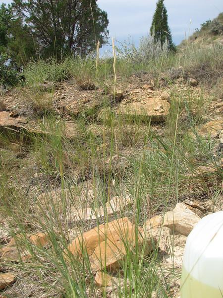 Bluebunch wheatgrass - Pseudoroegneria spicata (PSSP6)