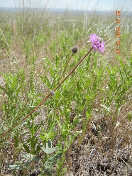 purple prairie clover - Dalea purpurea (DAPU5)