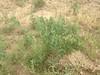 Prairie thermopsis - Thermopsis rhombifolia (THRH)