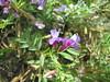 Slender milkvetch - Astragalus gracilis (ASGR3)