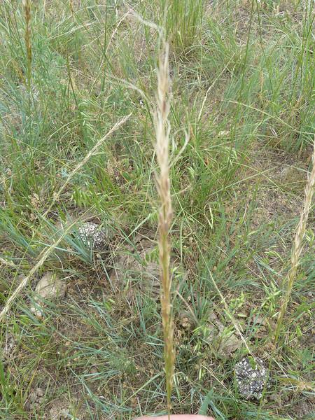 Green needlegrass - Nassella viridula (NAVI4)