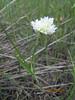 Textile onion - Allium textile (ALTE)