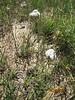 common yarrow - Achillea millefolium (ACMI2)