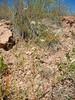 white prairie clover - Dalea candida (DACA7)