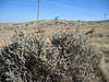 Wyoming big sagebrush - Artemisia tridentata ssp. wyomingensis (ARTRW8)
