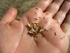 Curlycup gumweed - Grindelia squarrosa var. quasiperennis (GRSQQ)