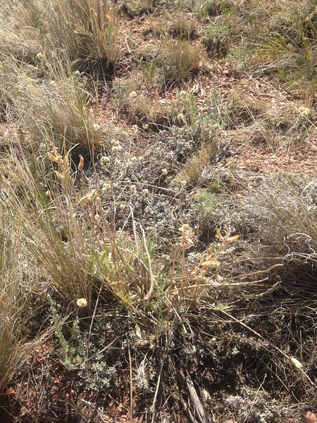 White locoweed - Oxytropis sericea (OXSE)