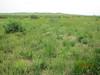 Desert biscuitroot - Lomatium foeniculaceum (LOFO)